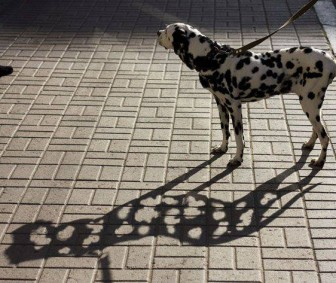 Dalmatian with see through spots