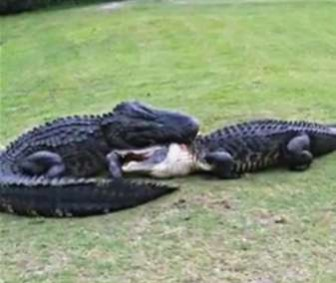 Alligators fighting on Florida golf course