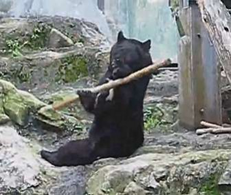 Bear Juggles Bo Staff Stick