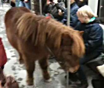 Shetland Pony Rides Subway Train In Berlin
